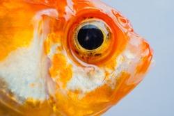 macro close up eye and faces goldfish