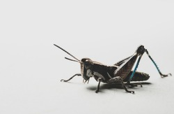 Macro close up of a colorful Mexican grasshopper details, selective focus