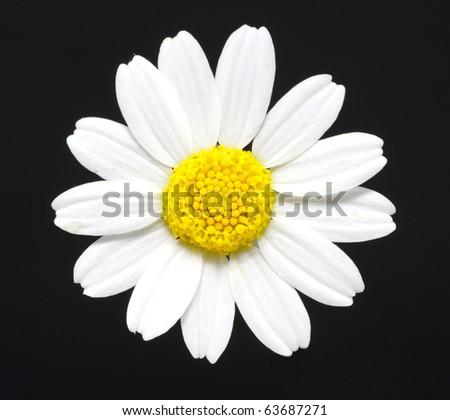 macro close-up of a daisy #63687271