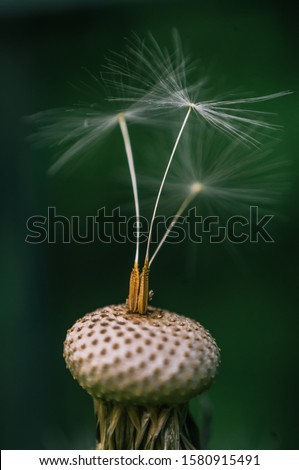Macro close-up of a dandelion flower receptacle, completely peeled, with the seeds just beginning to sprout #1580915491