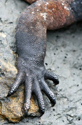 Macro Close Up of a Lizards arm and claws