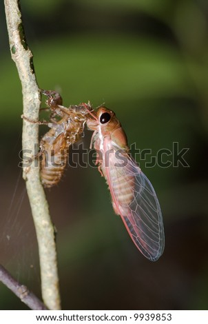Macro/close up of a pink cicada that has just moulted