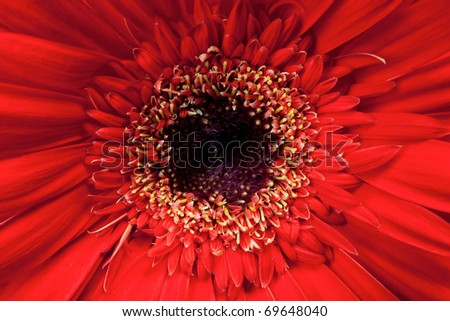 Macro, close up of a red Gerbera Daisy