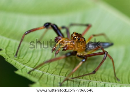 Macro/close-up of a red jumping spider on a green leaf