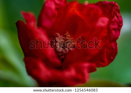 Macro close up of a red pomegranate flower with pistils and carpels