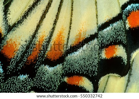 Macro close up of a Swallowtail butterfly wing.