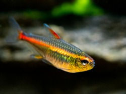 macro close up of a tetra growlight (Hemigrammus Erythrozonus) in a fish tank with blurred background