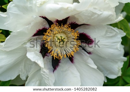 Macro close up of a wonderful white peony flower showing many different details as pistils, anther, stigma and styles