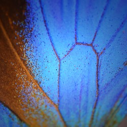 Macro close up of blue Butterfly Wing