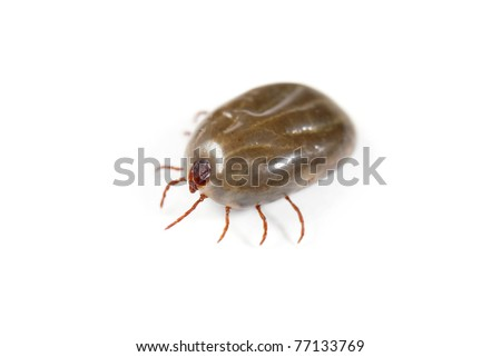 Macro close-up of female tick isolated on a white background