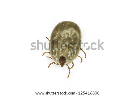 Macro close up of female tick on a white background