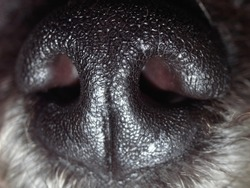 Macro close up of grey colored poodle dog nose