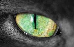 Macro close-up of grey fury cats green eye with narrow pupil