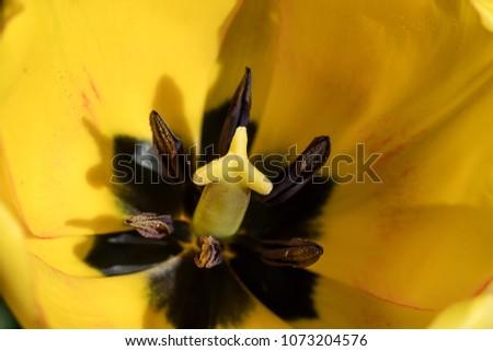 Macro close up of natural yellow tulip pistil and petal #1073204576