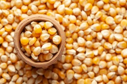 Macro close-up of organic yellow corn seed or maize (Zea mays) in an earthen clay pot (kulhar) on the self background. Top view