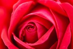 Macro (close up) photo of pink (red) rose