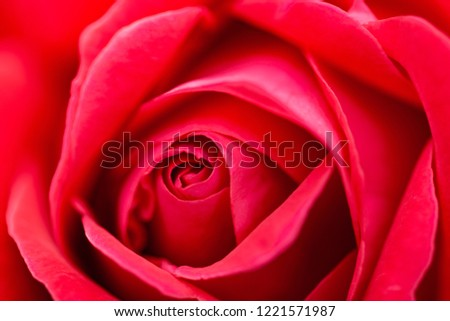 Macro (close up) photo of pink (red) rose