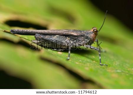 Macro/close-up shot of a dark grasshopper #11794612
