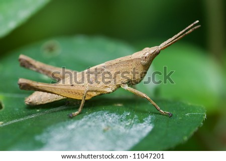 Macro/close-up shot of a grasshopper on a green leaf #11047201