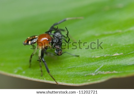 Macro/close-up shot of a red and black spider with its prey - an ant.