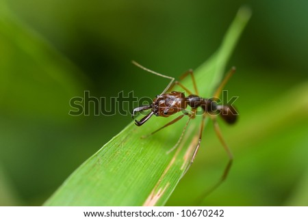 Macro/close-up shot of a red ant on a blade of grass