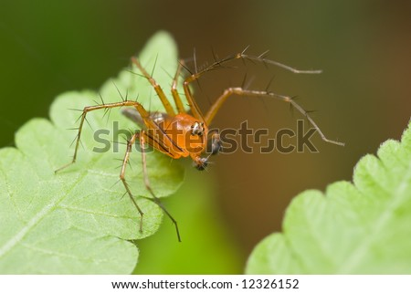 Macro/close-up shot of a red lynx spider