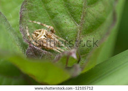 Macro/close-up shot of a spider curled up in a leaf