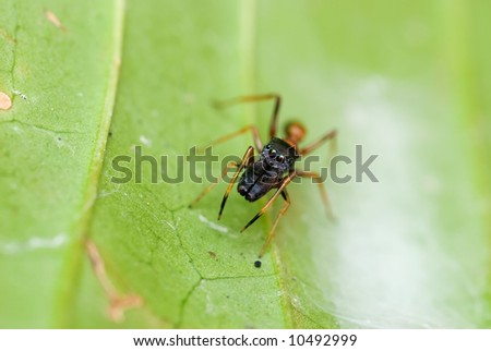 Macro/close-up shot of an ant-mimicking spider on a green leaf