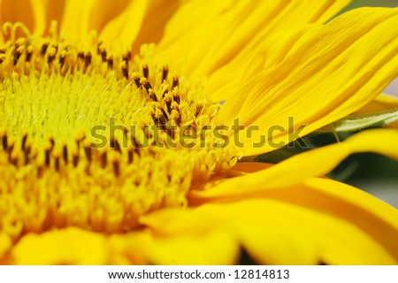Macro close up shot of sunflower Helianthus annuus
