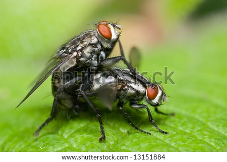 Macro/close-up shot of two mating flies