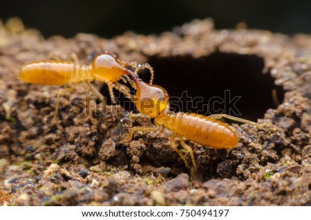 Macro close up termites , home damaged by termite which eat for a long time