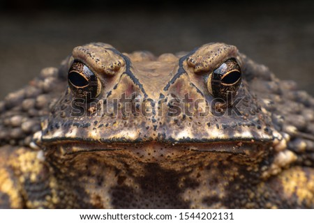 Macro close-up Thai toad.Front view.Thailand. Big bony headed toad or Spadefoot frog or Buffalo toad. Amphibian animal closeup. Toad Asian brown on black background.