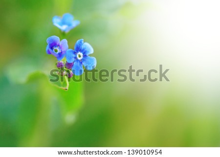macro closeup blue forget me not flower with green background and sunlight