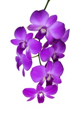 macro closeup of a beautiful bright pink blue purple dendrobium orchid flower branch plant with green leaves isolated on white
