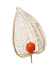 macro closeup of a beautiful brown empty dry dried skeleton net leaf and orange ripe round fruit of Physalis alkekengi, or the Chinese lantern decorative garden plant isolated on white
