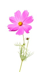 macro closeup of a blooming vivid pink purple Cosmos bipinnatus garden Mexican aster (cosmea) flower with green leaves isolated on white