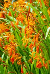 macro closeup of a bright orange yellow elegant flower branch of  Crocosmia aurea montbretia from iris family fire lily bulb pot plant against bright green garden background