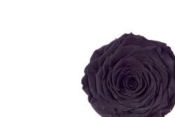 macro closeup of a dark black sad somber rose romantic vintage with curly petals flower isolated on white top flat view