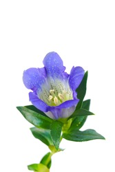 macro closeup of beautiful bright blue Gentiana acaulis (Gentian) european herb flowers isolated on white, notable for intense color and tonic properties, used to make liqueur and beverages