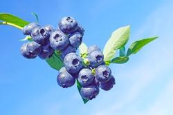 macro closeup of beautiful ripe blue berries Vaccinium corymbosum myrtillus blueberry branches against bright blue sky