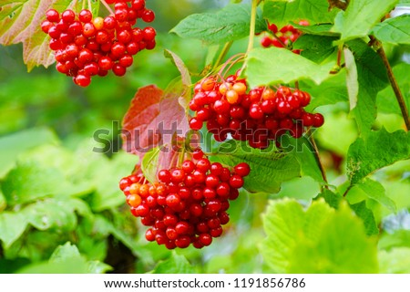 macro closeup of beautiful scarlet red fruits of Viburnum opulus guelder rose, kalina, European cranberry bush, snowball tree, berries with strong acidic taste though toxic are used to make jelly