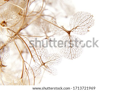 macro closeup of dried dry delicate skeleton leaves petals of hydrangea flowers blooms isolated on white background Foto stock ©