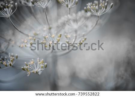 Macro closeup of flowering dill herb cluster flowers growing in garden