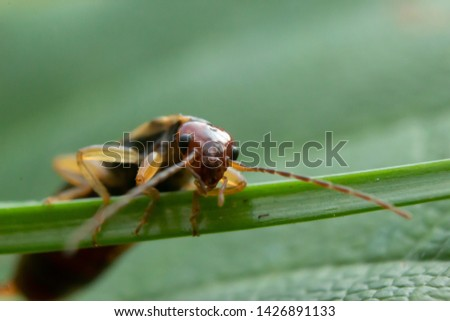 Macro closeup of Forficula auriculata also known as common earwig, copy space for text