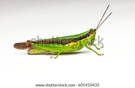 macro closeup of grasshopper with isolated white background #605450435