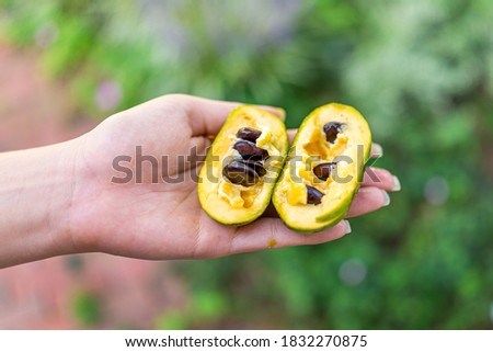 Macro closeup of hand holding ripe open juicy sweet pawpaw fruit in garden wild foraging with yellow texture and seeds Stock photo ©
