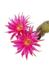 macro closeup of hot pink purple flowers of Echinopsis cactus, a small pot plant blooming in spring and summer isolated on white