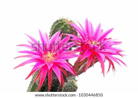 macro closeup of hot pink purple flowers of Echinopsis Lobivia hybrid cactus isolated on white