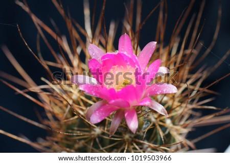 Free photos cactus with small purple flowers in a pot avopix macro closeup of hot pink purple flowers with white heart center of lobivia echinopsis laui cactus mightylinksfo