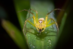 Macro closeup of Lynx Spider. This spider is known to eat small insects like grasshoppers, flies, bees as well as other small spiders.